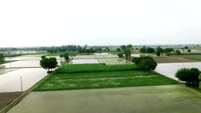 Rijst gewas plantage