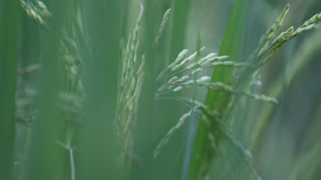 Rice cultivation in Bangladesh
