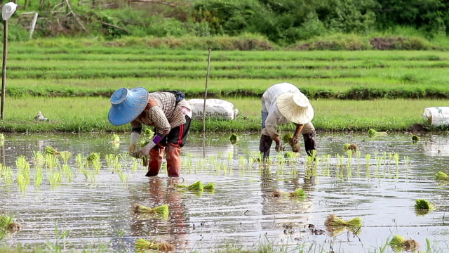 rice cultivation - chinese ethnicity stock videos & royalty-free footage