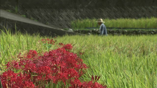 rice ears in a rice paddy with red spider lilies in between   farmer walking yonder   right to left - spider lily stock videos and b-roll footage