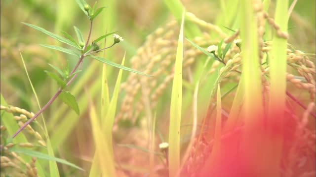 rice ears ripe at the tip of rice plants   zo   red spider lilies   ms - spider lily stock videos and b-roll footage