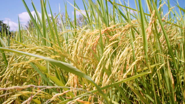 rice farm - plant stem stock videos and b-roll footage