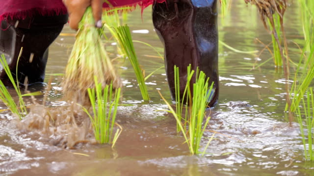 rice farmer seedling on rice field - rice stock videos & royalty-free footage