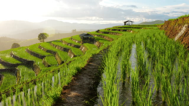 rice field agriculture product of southeast asia with raining rain drop at sunset time - rice stock videos & royalty-free footage