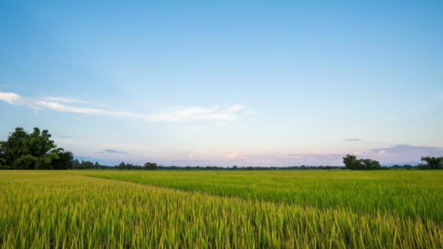 Rice field and beautiful sunset.