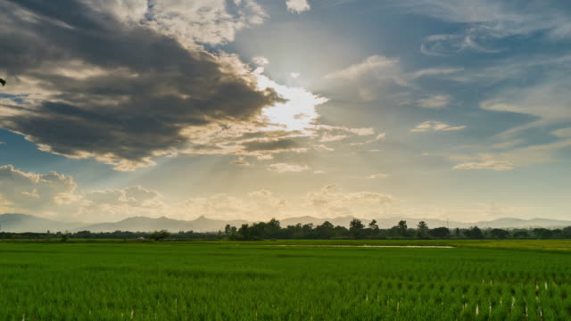 vídeos de stock e filmes b-roll de rice field and sunrays 4k time lapse. - arroz cereal