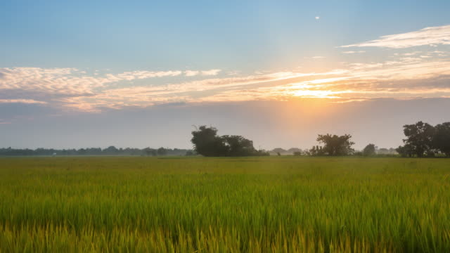 rice field and sunrise, time lapse 4k format - paddy field stock videos & royalty-free footage