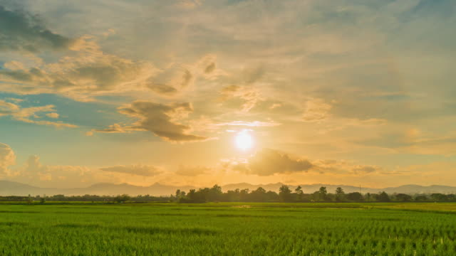 rice field and sunset 4k time lapse. - esposizione lunga video stock e b–roll