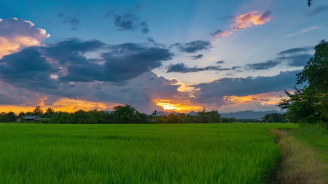 Rice field and sunset 4K time lapse.