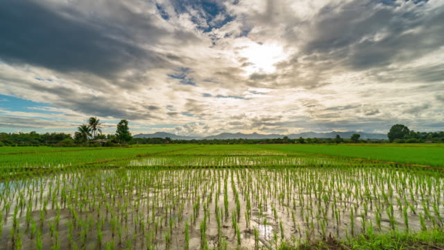 vídeos y material grabado en eventos de stock de campo de arroz y lapso de tiempo de 4k al atardecer. - campo de arroz