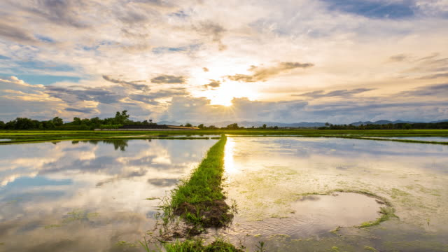 rice field and water reflection day to sunset time-lapse. - day to sunset stock videos & royalty-free footage