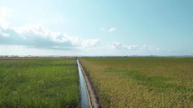 Rice field at Ebro Delta