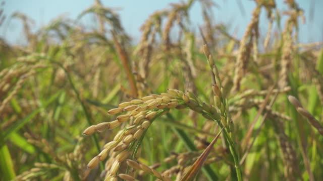 rice field close up - モミ点の映像素材/bロール