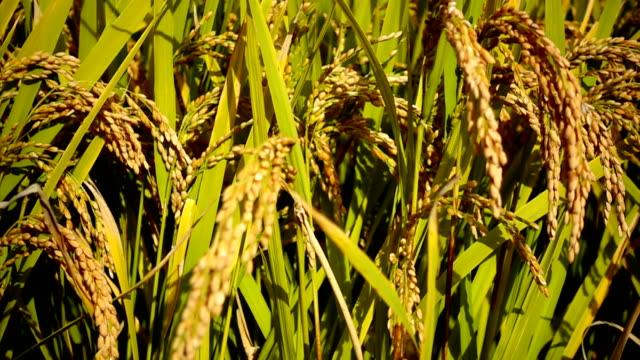 タイのライス フィールド金草自然映像背景 - モミ点の映像素材/bロール