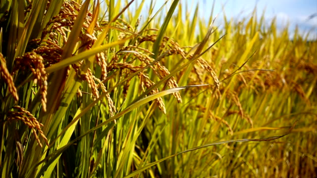 rice field gold grass nature footage background in thailand - rice stock videos & royalty-free footage