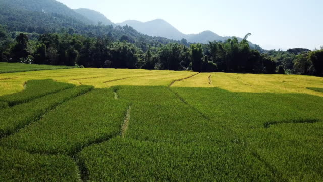 rice field green and yellow colorful of southeast asia in pai thailand - vietnam video stock e b–roll