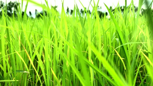 rice field green beautiful landscape background during fresh moning and wind - turf stock videos & royalty-free footage