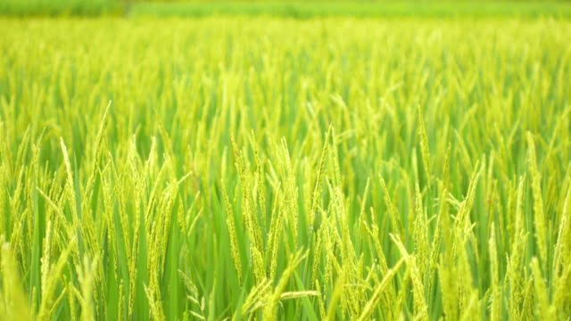 rice field green grass nature footage background in thailand - rice paddy stock videos & royalty-free footage