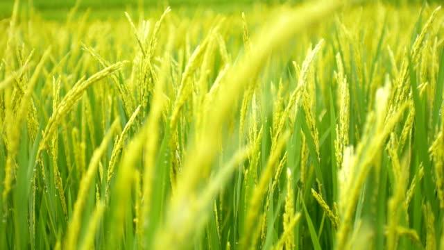 vídeos de stock, filmes e b-roll de arroz campo verde grama lenta natureza imagens plano de fundo - arbusto tropical