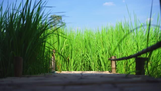 vidéos et rushes de stand de champ de riz dans le vent - bamboo plant