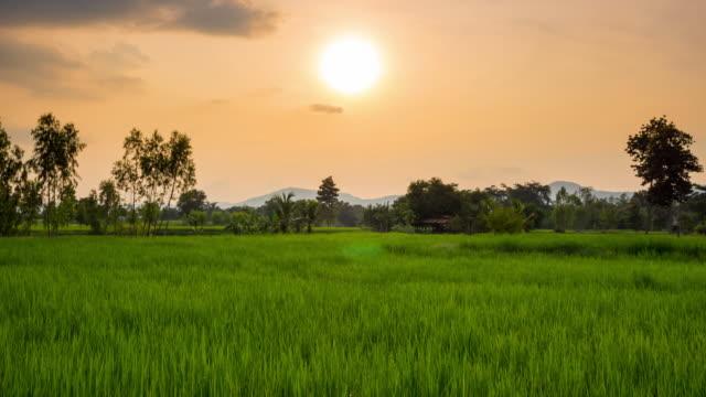 Rice field sunset