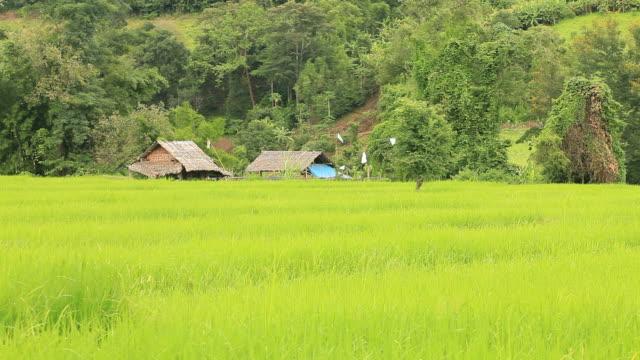 vídeos de stock, filmes e b-roll de campo de arroz - arbusto tropical