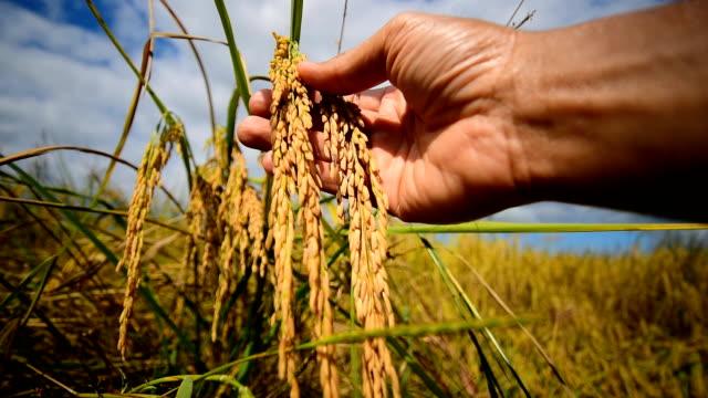 vídeos de stock, filmes e b-roll de campo de arroz - arroz alimento básico
