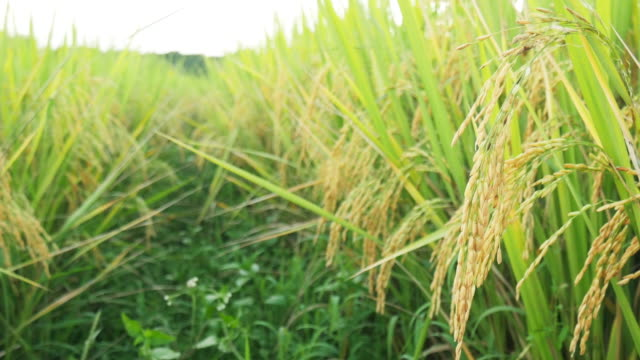 rice field - rice paddy stock videos and b-roll footage