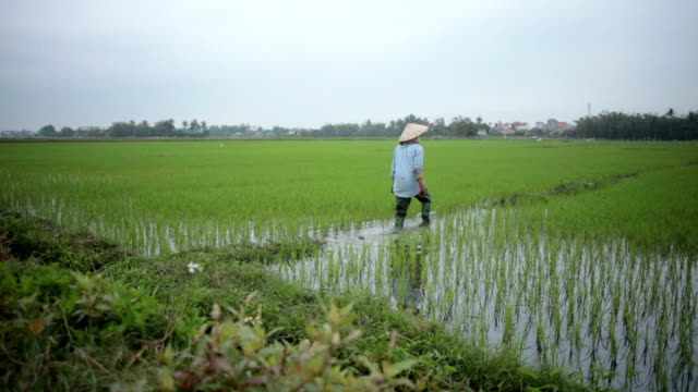 Rice Fields - Farmer