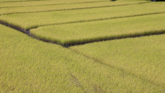 rice fields in japan - agricultural field点の映像素材/bロール