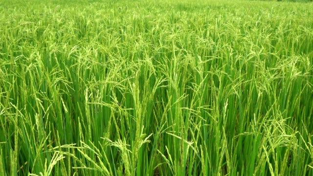 Reisfelder in Morgen