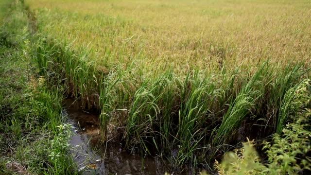 rice fields in south vietnam regions - south vietnam stock videos & royalty-free footage