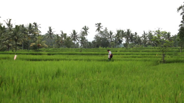 rice fields in ubud 3 - rice paddy stock-videos und b-roll-filmmaterial