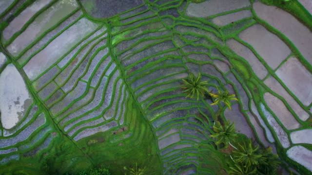 rice fields of ubud - rice paddy stock videos & royalty-free footage