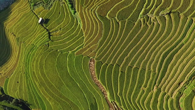reisfelder auf reihenhaus auf terrassierten reisfeld yenbai vietnam.beautiful in der erntesaison am mu cang chai - reis grundnahrungsmittel stock-videos und b-roll-filmmaterial