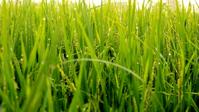 rice flower - pollen grain stock videos & royalty-free footage