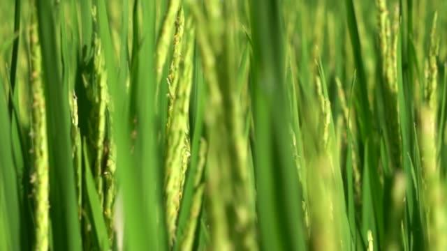 risgrönt fält i slow motion - risfält bildbanksvideor och videomaterial från bakom kulisserna