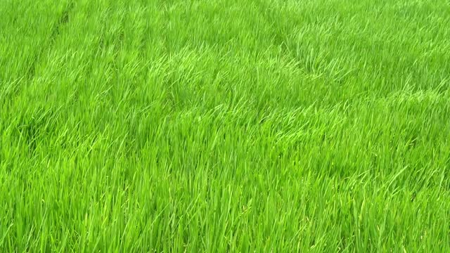 rice green meadow swaying with strong wind waving in green field scene day time - satoyama scenery stock videos & royalty-free footage