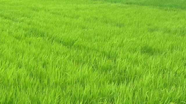 vidéos et rushes de prairie verte de riz se balançant avec un vent fort agitant dans la scène des champs verts le jour - élevé