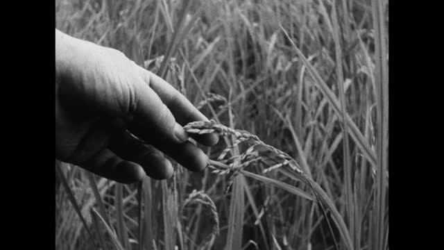 rice grows in paddy field, male hand inspects grain; 1964 - kyoto prefecture stock videos & royalty-free footage