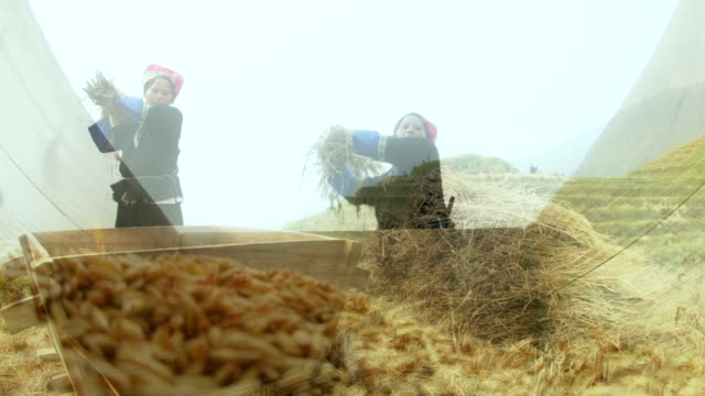 rice harvest in china - rice paddy stock-videos und b-roll-filmmaterial