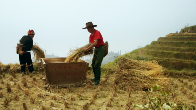 rice harvest in china - harvesting stock videos & royalty-free footage