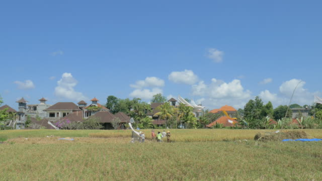 rice harvest in paddy ubud,bali,indonesia - ubud district stock videos & royalty-free footage