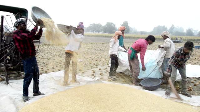 vídeos y material grabado en eventos de stock de arroz de recolección - cereal plant