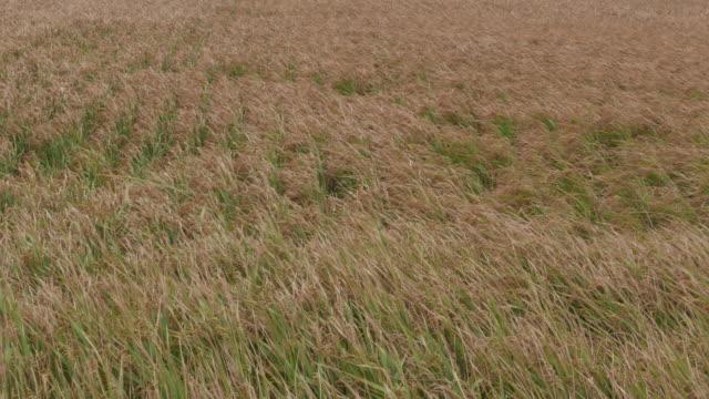 rice in farm field - satoyama scenery stock videos & royalty-free footage