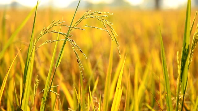 rice in the fields. - plant stem stock videos & royalty-free footage