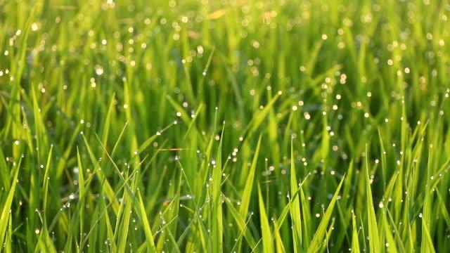 ライス meadow 背景