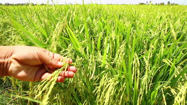 rice on hand in field - paddy field stock videos & royalty-free footage