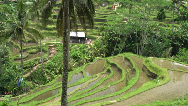 rice paddies  and coconut palm trees at tegallalang, the most famous rice field terrace of bali, indonesia - campuhan stock videos & royalty-free footage