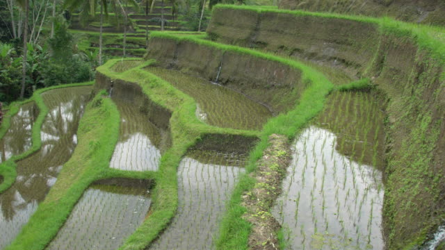 rice paddies at tegallalang, the most famous rice field terrace of bali, indonesia - campuhan stock videos & royalty-free footage